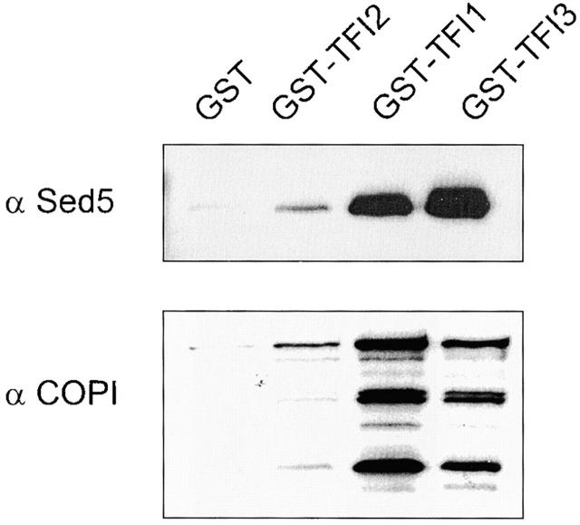 GST-tagged TFI1, TFI2, and TFI3 interact with both Sed5p and COPI proteins. GST-tagged proteins were expressed in the cells of appropriate gene deletion strains, in which the GST-chimera was the only source of TFI1, TFI2, or TFI3 proteins. A membrane fraction was obtained after centrifugation at 150,000 g for 1 h at 4°C. Extracted membrane proteins (2 mg) were incubated with 50 μl prewashed glutathione–Sepharose beads. Each eluate was loaded on the 10% SDS-PAGE and analyzed by immunoblot with α-Sed5p and α-coatomer sera. The Coomassie blue staining of the samples presents on the left panel of the Fig. 1 B.