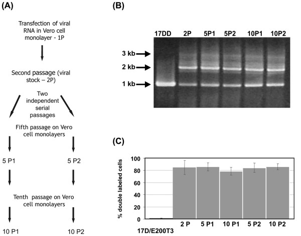 Analysis of recombinant virus genetic stability after serial passaging. (A) Schematics of viral regeneration and subsequent passages (10) of the YF 17D/Esa/5.1 glic virus obtained after RNA transfection. Two independent series of serial passages (at MOI of 0.02); P1 and P2 were analyzed by RT-PCR and flow citometry at passages 5 and 10 and are represented in all panels as 5P1, 10P1, 5P2 and 10P2. In these experiments the YF17D/E200-T3 virus was used as negative control for EGFP expression. (B) Electrophoretic analysis of RT-PCR amplicons from viral RNA extracted of samples from the supernatant of cultures used to derive the citometry data (C) according the passage history (A). The length of the main RT-PCR bands are shown on the left side. (C) The rate of double gated cells (YF+, EGFP+) over the total YF+ gated cells (YF+, EGFP+ plus YF+, EGFP- gated cells) corresponds to the percentage of cells infected by YF 17D/Esa/5.1 glic virus stably expressing the EGFP protein. The respective columns indicate the values for each of the viral passages.