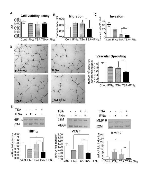 HDACI and IFNα co-operatively inhibit endothelial cell functions, and pro-angiogenic gene expression in cancer cells under hypoxic conditions in vitro . A. Human umbilical vein endothelial cells (HUVECs) were treated with control (Cont), 0.1 μM TSA and/or 500 IU/ml IFNα for 18 hours. Cell viability was evaluated with the Alamar blue assay. B. HUVECs were plated in BD Biosciences Fluroblok chambers and treated with control, 0.1 μM TSA and/or 500 IU/ml IFNα for 22 hours. Cells were stained with Cell Tracker Green CMFDA, migrated through chamber filters toward the chemo-attractant VEGF, and then quantified and expressed as optical density (OD) absorbance units. C. HUVECs were plated into BD BioCoat growth factor-reduced matrigel invasion chambers and treated with control, 0.1 μM TSA and/or 500 IU/ml IFNα for 18 hours. Cells which invaded through the Matrigel were fixed, stained with a Diff Quick staining kit, photographed and then quantified. D. HUVECs were plated onto growth factor-reduced Matrigel in 24 well plates and treated with control, 0.1 μM TSA and/or 500 IU/ml IFNα for 18 hours. Vascular sprouting was quantified by counting the numbers of complete branches per branching point. E. Neuroblastoma BE(2)-C cells were treated with control, 0.02 μM TSA and/or 500 IU/ml IFNα for 72 hours under hypoxic (1% O 2 ) conditions. RNA was extracted and subjected to independent semi-competitive RT-PCR analyses using trans-intron PCR primers, together with primers for the house-keeping gene β-2 microglobulin (β2M). Representative gels for each gene at the 72 hour time point were shown, and fold induction of a target gene by treatment was calculated by ascribing the ratio between the level of expression of a target gene and that of β2M as 1.0 for control treated samples. * p