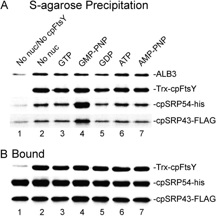 GMP-PNP is required to form a stable complex between cpSRP and cpFtsY. (A) Salt-washed thylakoids equal to 150 μg were incubated with 4 μg cpSRP-FLAG and with (lanes 2–7) or without (lane 1) 2 μg Trx-cpFtsY in the presence of the nucleotide indicated at 0.5 mM final concentration (No nuc, no nucleotide added). Treated thylakoids were buffer washed, solubilized in maltoside, and mixed with S-protein agarose to precipitate Trx-tagged cpFtsY and all coprecipitating proteins. Western blots of the precipitates were probed to identify the presence of the proteins indicated to the right. (B) Thylakoids with bound recombinant proteins (see Materials and methods) were Western blotted to show relative amounts of soluble protein bound to the membranes.