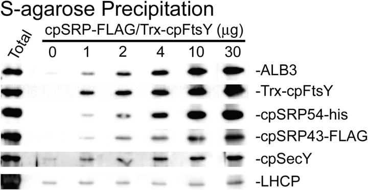 ALB3 and cpSecY specifically interact with cpFtsY and cpSRP. Salt-washed thylakoids containing 75 μg chl were incubated with increasing amounts of cpSRP and cpFtsY in the presence of 0.5 mM GMP-PNP. After washing, the membranes were solubilized and used for precipitation assays with S-protein agarose. Western blots of the eluates are shown probed for the proteins indicated to the right. Numbers above the blots represent the amount of each protein added (e.g., cpSRP54-his, cpSRP43-FLAG, and Trx-cpFtsY). The first lane (Total) contains thylakoid membranes with bound cpSRP-FLAG and Trx-cpFtsY for sizing.