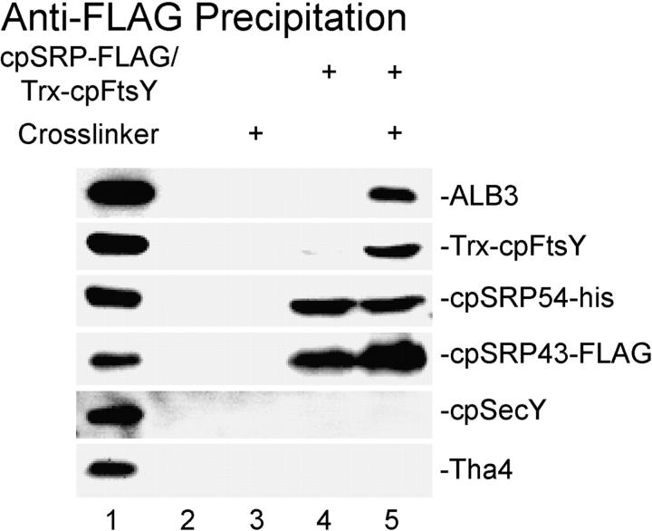 Cross-linked cpSRP, cpFtsY, and ALB3 are precipitated under denaturing conditions with tagged cpSRP43. Complexes of cpSRP-FLAG and Trx-cpFtsY were formed on salt-washed thylakoids (lanes 4 and 5) in the presence of GMP-PNP. Thylakoids were treated with SPDP (lanes 3 and 5) or DMSO (lanes 2 and 4). After quenching, the membranes were solubilized in SDS and diluted with Triton X-100 to lower the SDS concentration. Anti-FLAG IgG and protein G agarose were used to precipitate proteins cross-linked either directly or indirectly to cpSRP43-FLAG. Coprecipitating proteins were eluted with SDS solubilization buffer containing β-mercaptoethanol to cleave the cross-linker. Western blots of the coprecipitating proteins were probed with the antibody indicated on the right. Lane 1 contains proteins from thylakoids with cpSRP-FLAG and Trx-cpFtsY bound.