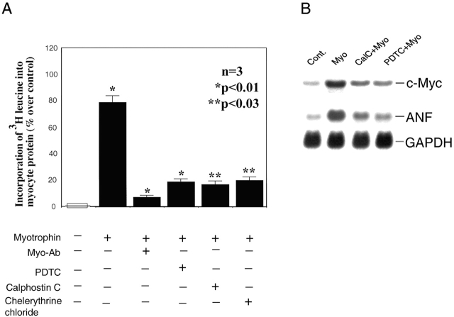 Effect of PDTC, calphostin C, and chelerythrine chloride on myotrophin-induced protein synthesis and gene expression in neonatal rat cardiomyocytes. (A) Neonatal myocytes were pretreated with myotrophin antibody (Myo-Ab), 100 μM PDTC, 1 μM of calphostin C, and 10 μM chelerythrine chloride for 60 min and then treated with myotrophin for 24 h in the presence of [ 3 H]leucine. Cells were lysed and incorporation of [ 3 H]leucine into myocytes was measured as described in the text. Data shows the means (±SEM) of three different sets of results. P values compared with control or unstimulated cells. (B) Samples from control and myotrophin-treated neonatal myocytes were treated with or without 100 μM PDTC and 1 μM of calphostin C. Total RNA (20 μg) was hybridized separately with [ 32 P]dATP-labeled c-myc , <t>ANF,</t> or <t>GAPDH</t> oligo probes.