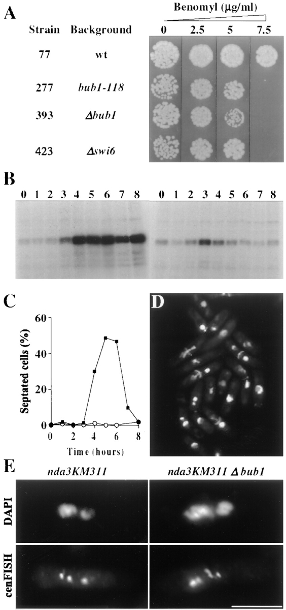 bub1 + is required for spindle checkpoint function. ( A ) bub1 mutants are hypersensitive to benomyl. Strains were grown in YES medium to 0.5–2 × 10 7 cells/ml. About 200 cells were spotted onto YES plates containing the indicated concentrations of the anti-microtubule drug benomyl and incubated at 32°C for 3 d. ( B–D ) bub1 mutants are unable to maintain a mitotic arrest. Small G2 cells of nda3KM311 Δswi6 and nda3KM311 Δbub1 were shifted to 18°C, which disrupts spindle microtubules due to the nda3 defect, and samples were taken every hour. ( B ) Unlike the Δswi6 cells which arrest with high levels of histone H1 kinase activity ( left ), the Δbub1 cells fail to maintain such an arrest and the kinase activity drops after 3 h ( right ). DAPI and calcofluor staining shows that this is followed by a wave of septation ( C ) from 4–6 h as the Δbub1 cells ( solid squares ) progress through the cell cycle, and ultimately leads to a cut phenotype ( D ) as septation occurs without chromosome segregation. The Δswi6 cells maintain their arrest with hypercondensed chromosomes (data not shown) and do not septate ( C , open circles ). ( E ) Δbub1 cells are unable to prevent sister chromatid separation in the absence of a spindle. Cells from strain 379 ( nda3KM311 ) and 401 ( nda3KM311 Δbub1 ) were grown in YES medium at 32°C to 3 × 10 6 cells/ml, shifted to 18°C for 8 h, and then fixed and processed for FISH using a probe detecting all three centromeres (cenFISH). Nuclear DNA was stained with DAPI. Bar, 5 μm.