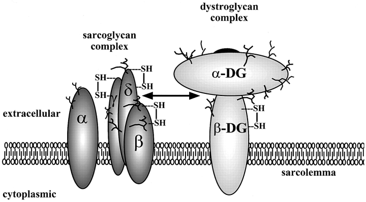 Structural model of the sarcoglycan complex and the dystroglycan complex. The four sarcoglycans ( left ) are represented by α, β, γ, and δ. α-DG and β-DG denote α- and β-dystroglycan ( right ), respectively. Branch structure corresponds to N-glycoside sugar chain. SH , disulfide linkage. Double-headed arrow , potential interaction betw een δ-sarcoglycan and the dystroglycan complex. In the model, β-sarcoglycan is tightly associated with δ-sarcoglycan. α-Sarcoglycan is placed apart from other sarcoglycans and is viewed as a separate subunit within the sarcoglycan complex.