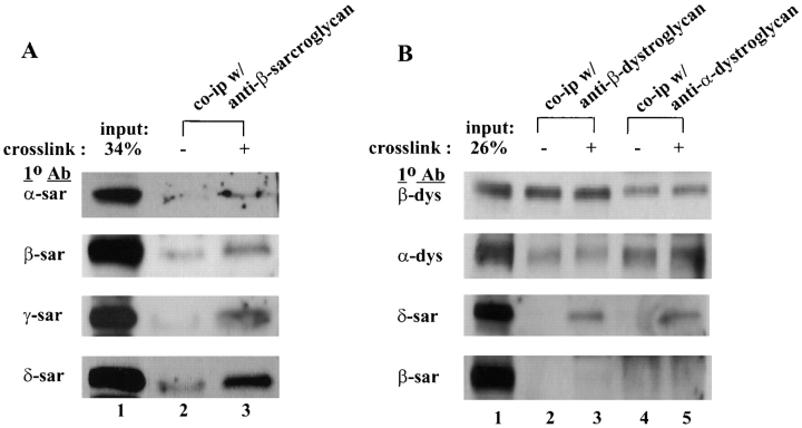 In vivo cross-linking of the sarcoglycans. Mouse myotubes were chemically cross-linked with 1 mM DTSSP and immunoprecipitated by <t>anti–β-sarcoglycan</t> antibody ( A ) or anti–α- or β-dystroglycan antibody ( B ). Lane 1 , cell lysate from mouse myotubes (26–34% input). Lanes 2 and 4 , immunoprecipitated products from uncross-linked myotubes. Lanes 3 and 5 , immunoprecipitated products from equal amount of DTSSP cross-linked myotubes. The composition of the immune complex was determined by Western blots using antibodies ( 1 ° Ab ) against different sarcoglycans and dystroglycans.