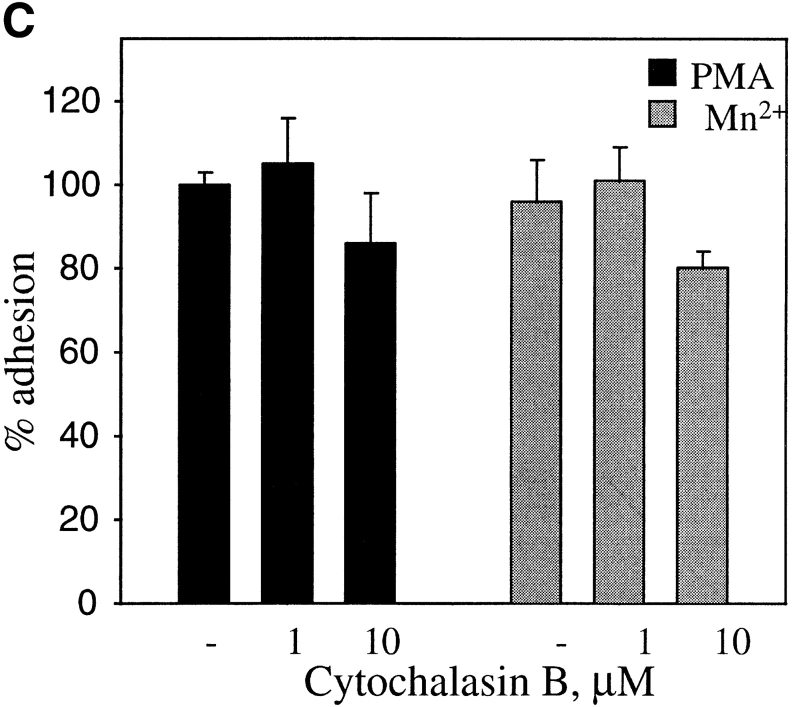 Effects of protein kinase C and calpain inhibitors ( A ) and cytochalasin B ( B and C ) on adhesion of PMA- and MnCl 2 -treated HUVEC to immobilized prothrombin. HUVEC adhesion was measured (see legend to Fig. 3 and Materials and Methods) in the absence ( open bar ) or presence of 200 nM PMA ( black bars ) or in the presence of 0.5 mM MnCl 2 ( gray bars ). In A , cells were pretreated with calpeptin (50 μg/ml), calpain inhibitor I and II (100 μg/ml each), bisindolylmaleimide V ( BIM V ) and bisindolylmaleimide I ( BIM I ; 20 nM each) or calphostin C light-activated; 1 μM). In B , adherent cells in the absence or presence (0.1 μm) of cytochalasin B were photographed at 40×. Bar, 50 μm. In C , adhesion of stimulated cells was measured after 50 min in the absence or presence of cytochalasin B. Adhesion in the presence of 200 nM PMA without inhibitors was assigned a value of 100%. The data shown are means and SD from three experiments.
