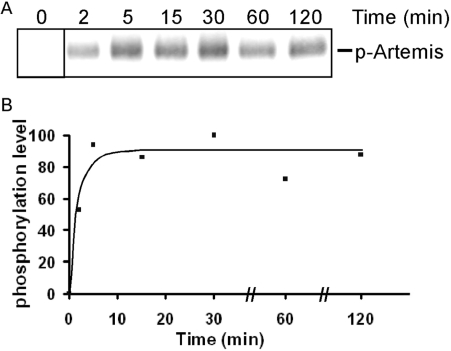The phosphorylation of Artemis by DNA-PKcs rapidly reaches a plateau. ( A ) Artemis was incubated with DNA-PKcs in the presence of [γ- 32 P] ATP at 37°C. A fraction of the incubation mixture was removed at each time point and resolved on SDS–PAGE. For the zero time point, a separate reaction containing all components except DNA-PKcs was used. ( B ) The level of phosphorylation was quantified and normalized as a percentage of the highest level (100% at 30 min).