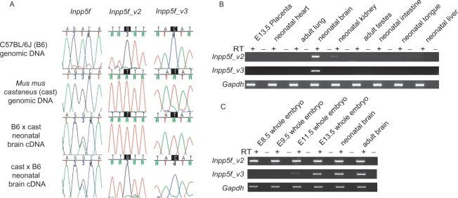 ( A ) Allele-specific expression of Inpp5f transcript variants, assessed by RT-PCR sequencing assays. PCR primers were designed to specifically amplify each transcript (Figure 1A) over regions containing SNPs between two inbred strains of mice: C57BL/6J (B6) and Mus mus castaneus (cast). Allele-specific expression can be determined in F1 hybrids by the relative height of the sequence trace corresponding to each parental allele at the polymorphic site. The strain of the mother is given first in each cross. ( B ). Tissue-specific expression of Inpp5f_v2 transcript variants, assessed by qualitative RT-PCR. All primers were designed to span introns (Figure 1A), and each reaction was conducted using cDNA prepared in the presence (RT+) or absence (RT–) of reverse transcriptase, to eliminate the possibility of template contamination. cDNA was prepared from 1 μg of RNA extracted from B6 × cast F1 hybrid tissues. Adult material was prepared from animals sacrificed at 6 weeks. In every case, Inpp5f_v2 and Inpp5f_v3 underwent 33 cycles of amplification, whereas Gapdh was amplified for 30 cycles. ( C ) Developmental expression screen for Inpp5f_v2 and Inpp5f_v3 transcript variants under the same experimental conditions as panel B.