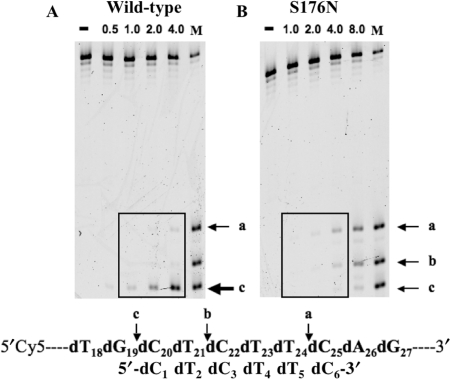 Comparison of cleavage patterns of oligonucleotide containing the 5′-dCdTdCdTdTdC-3′ corresponding to a <t>T4</t> DNA sequence by wild-type and S176N mutant forms of Endo IV. A 45-base oligonucleotide (Cy5–T4A) based on the sequence of T4 DNA and labeled at its 5′ end with Cy5 was used as the substrate (10 μM) for assay of the activity of wild-type (0.5, 1.0, 2.0 or 4.0 μg/ml) ( A ) or S176N mutant (1.0, 2.0, 4.0 or 8.0 μg/ml) ( B ) forms of Endo IV. The reaction products were separated by electrophoresis on a 10% polyacrylamide gel containing 7 M urea and were visualized with an image analyzer. Lane (−) represents a reaction mixture incubated in the absence of enzyme. Lane M represents a mixture of oligonucleotides labeled at their 5′ ends with Cy5 and with sequences identical to those of residues 1 to 19, 1 to 21 or 1 to 24 of the substrate. Cleavage sites of the substrate are indicated by arrows, and dC sites in dG 19 –dC 20 –dT 21 , dT 21 –dC 22 –dT 23 and dT 24 –dC 25 –dA 26 are indicated by a, b and c, which correspond to the dC 1 , dC 3 and dC 6 sites of the 5′-dC 1 dT 2 dC 3 dT 4 dT 5 dC 6 -3′ tract, respectively.