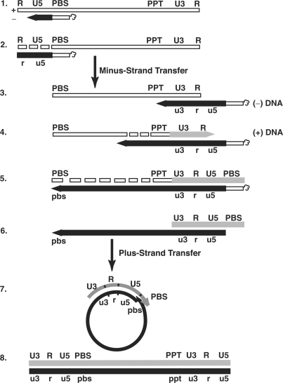 Schematic diagram of the events in reverse transcription. Step 1. Reverse transcription is initiated by a cellular tRNA primer ( , in the case of HIV-1), following annealing of the 3′ 18 nt of the tRNA to the 18-nt PBS near the 5′ end of the genome. RT catalyzes synthesis of ( − ) SSDNA, which contains copies of the R sequence and the unique 5′ genomic sequence (U5). Step 2. As the primer is extended, the RNase H activity of RT degrades the genomic RNA sequences that have been reverse transcribed. Step 3. ( − ) SSDNA is transferred to the 3′ end of vRNA (minus-strand transfer). Step 4. Elongation of minus-strand DNA and RNase H degradation continue. Plus-strand synthesis is initiated by the 15-nt PPT immediately upstream of the unique 3′ genomic sequence (U3). Step 5. RT copies the u3, u5 and r regions in minus-strand DNA, as well as the 3′ 18 nt of the tRNA primer, thereby reconstituting the PBS. The product formed is termed (+) SSDNA. Step 6. RNase H removal of the tRNA and PPT primers from minus- and plus-strand DNAs, respectively. Step 7. Plus-strand transfer, facilitated by annealing of the complementary PBS sequences at the 3′ ends of (+) SSDNA and minus-strand DNA, is followed by circularization of the two DNA strands and displacement synthesis. Step 8. Minus- and plus-strand DNAs are elongated, resulting in a linear dsDNA with a long terminal repeat (LTR) at each end. vRNA is shown by an open rectangle and minus-and plus-strand DNAs are shown by black and gray rectangles, respectively. The tRNA primer is represented by a short open rectangle (3′ 18 nt of the tRNA) attached to a 'clover-leaf' (remaining tRNA bases). Minus- and plus-strand sequences are depicted in lower and upper case, respectively. The very short white rectangles represent fragments produced by RNase H cleavage of genomic RNA. Adapted from reference ( 43 ) with permission from Elsevier.
