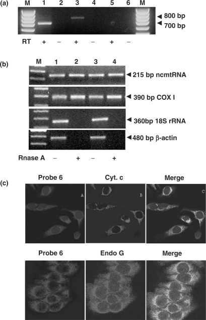 Mitochondrial localization of the ncmtRNA. ( a ) The mitochondrial fraction from HeLa cells was treated with RNase A, previously to RNA extraction. Amplification of the mitochondrial RNA with <t>primer</t> 1 in combination with primer 4 (lanes 1 and 2) or primer 5 (lanes 3 and 4) yielded the expected amplicons of 700 and 800 bp, respectively. No amplification was obtained with primers 1 and 6 (lanes 5 and 6) or when the reaction was carried out without reverse transcriptase (RT−, lanes 2, 4 and 6). ( b ) Total RNA extracted from two different preparations of HeLa mitochondria (lanes 1and 2, and 3 and 4) treated without (lanes 1 and 3) or with RNase A (lanes 2 and 4) was used to amplify the 215 bp fragment of the ncmtRNA, and the indicated amplicons of COX I mRNA, 18S rRNA and β-actin mRNA. Note that RNase A treatment abolished contamination with cytoplasmic transcripts. ( c ) Co-localization of the ncmtRNA with the mitochondrial markers cytochrome c and endonuclease G. HeLa cells were subjected to FISH to detect the ncmtRNA and immunocytochemistry to detect cytochrome c or endonuclease G (see Methods section) and analyzed by confocal microscopy.