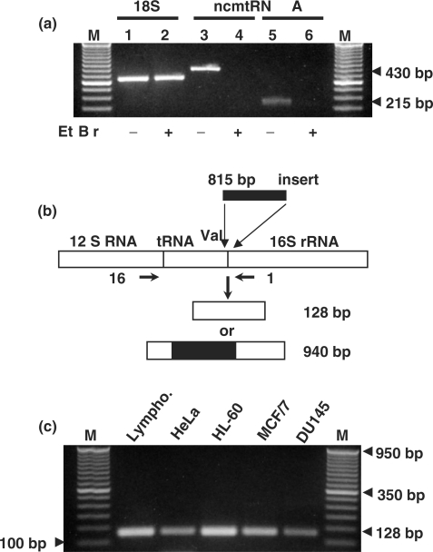 Synthesis of the ncmtRNA requires mitochondrial transcription. ( a ) Total RNA was extracted from HeLa cells incubated without (odd lanes) or with (even lanes) 1 μg/ml of ethidium bromide for 28 days. The RNA was amplified by RT-PCR using specific primers for 18S rRNA (lanes 1 and 2) (see Methods section), primers 9 and 11 (lanes 3 and 4) and primers 1 and 2 for the ncmtRNA (lanes 5 and 6). ( b ) Theoretical structure of an anomalous mtDNA containing an insert of 815 bp between the tRNA val and the 16S mtrRNA genes. ( c ) mtDNA from the indicated cell lines was amplified between primer 16 positioned close to the 3′ end of the 12S gene and primer 1 positioned on the 16S mtrRNA gene as shown in (b). All samples yielded a single amplicon of 128 nt. (a) M, 100 bp ladder. (c) 50 bp ladder.