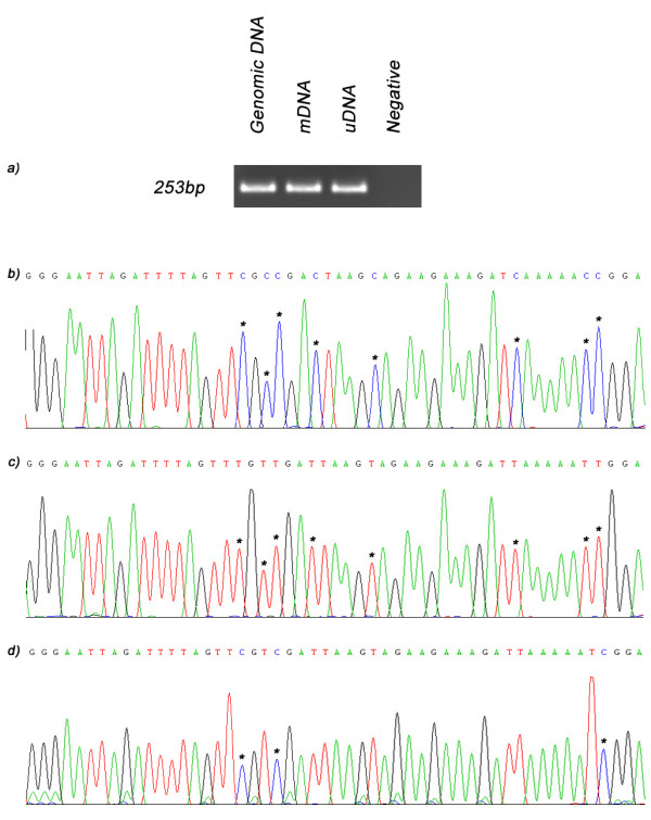 Bisulfite sequencing results for MMP-14 . a) When genomic DNA (lane 1) and bisulfite treated mDNA (lane 2) and uDNA (lane 3) were used as template for sequencing in combination with primers for MMP-14 a PCR product was generated for all samples but not the negative control (lane 4). Sequencing results for b) non-amplified genomic DNA, c) uDNA and d) mDNA demonstrate that MDA treatment generates DNA (uDNA) free of all methylation as when it is bisulfite treated all cytosine are converted to thymine [indicated by asterix (*)]. In addition, sequencing also demonstrates that M.SssI treatment (mDNA) methylates CpG motifs as cytosines are retained when present as part of a CpG dinucleotide (indicated by *).