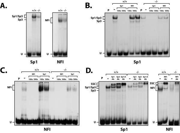DNA binding properties of Sp1/Sp3 and NFI in PARP-1 +/+ and PARP-1 -/- cells . ( A ) EMSA analysis of Sp1/Sp3 and NFI. Crude nuclear proteins (5 μg) from both PARP-1 +/+ and PARP-1 -/- cells were incubated with a 5' end-labeled probe bearing the high affinity binding site for either Sp1 (left) or NFI (right). Formation of DNA/protein complexes was then monitored by EMSA on an 8% (Sp1) and 10% (NFI) native polyacrylamide gel and their position revealed through autoradiography. The position of both the Sp1/Sp3 and NFI DNA-protein complexes are shown, as well as that of the free probe (U). P: labeled probe alone. ( B ) Sp1 competition experiment in EMSA. The Sp1 labeled probe used in panel A was incubated with nuclear proteins (5 μg) from both PARP-1 +/+ and PARP-1 -/- cells in the presence of either no (-) or 100- and 500-fold molar excesses of unlabeled competitor oligonucleotides (either Sp1 or NFI). Formation of DNA/protein complexes was then monitored by EMSA on an 8% native gel. ( C ) NFI competition experiment in EMSA. Same as in panel B except that the NFI double-stranded oligonucleotide was 5'-end labeled and used as probe for the assay. ( D ) Supershift experiment in EMSA. Crude nuclear proteins from both PARP-1 +/+ and PARP-1 -/- cells were incubated with the either the Sp1 (5 μg proteins were used) or NFI (10 μg proteins were used) labeled probe in the presence of either no (-), or 2 μl of a polyclonal antibody directed against Sp1 (Sp1Ab) or Sp3 (Sp3Ab) and added either individually or in combination (Sp1+Sp3Ab) (left), or with a polyclonal antibody directed against NFI (right). Formation of both the Sp1/Sp3 and NFI complexes, as well as their corresponding supershifted complexes (SSC) is indicated. P: labeled probe alone; U: unbound fraction of the labeled probe.