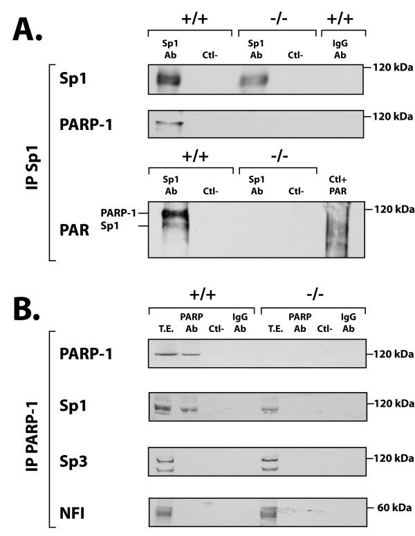 Co-immunoprecipitation of Sp1 and PARP-1 in protein extracts from PARP-1 +/+ and PARP-1 -/- cells . ( A ) Immunoprecipitation of the Sp1-protein complexes in PARP-1 +/+ and PARP-1 -/- nuclear extracts. Crude nuclear proteins (300 μg) from both PARP-1 +/+ and PARP-1 -/- cells were incubated with the Sp1 Ab (sc-59) and the Sp1-protein complexes recovered by the addition of protein-A-Sepharose. The resulting immunoprecipitated proteins were then SDS-gel fractionated before being membrane-transferred and Western blotted with antibodies against Sp1, PARP-1 (C-2-10) and PAR (LP-9610). Ctl-: protein A-Sepharose added to crude nuclear proteins in the absence of Sp1 Ab and used as a negative control. IgG-Ab: normal rabbit IgG incubated with nuclear proteins prior to addition of protein A-Sepharose as a negative control. ( B ) Immunoprecipitation of the PARP-1-protein complexes in PARP-1 +/+ and PARP-1 -/- nuclear extracts. Same as in panel A except that the immunoprecipitation was conducted using the PARP-1 F-123 Ab. The blotted, PARP-1-immunoprecipitated proteins were then analyzed with the PARP-1 (422), Sp1 (sc-59), Sp3 (sc-644), and PAR (LP-9610) antibodies. Negative controls (Ctl- and IgG-Ab) are as in panel A. TE: total cell extract that has not been immunoprecipitated with the PARP-1 Ab.