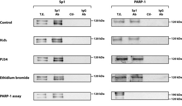 Influence of PARP-1 activity on the co-immunoprecipitation of PARP-1 by Sp1 . Nuclear proteins (300 μg) from PARP-1 +/+ cells grown either alone (control) or in the presence of hydrogen peroxide (H 2 O 2 ), PJ34 PARP-1 inhibitor, or ethidium bromide were incubated with the Sp1 Ab (sc-59) and the Sp1-protein complexes recovered by the addition of <t>protein-A-Sepharose.</t> The resulting immunoprecipitated proteins were then gel fractionated as in Figure 4 and Western blotted with antibodies against Sp1 or PARP-1 (C-2-10). TE: total cell extract that has not been immunoprecipitated with the Sp1 Ab. Ctl-: protein A-Sepharose added to crude nuclear proteins in the absence of Sp1 Ab and used as a negative control. IgG-Ab: normal rabbit IgG incubated with nuclear proteins prior to addition of protein A-Sepharose as a negative control.
