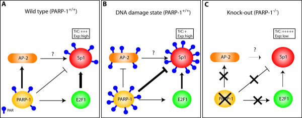Model of interplay between PARP-1, Sp1 and other transcription factors . ( A ) PARP-1 plays a suppressive function (indicated by 'T' bars) on the DNA binding properties of Sp1, and indirectly, on its expression as well, by the enzymatic addition of poly(ADP-ribose) units (PAR) to Sp1. PARP-1 may exert its effect by stimulating the transcriptional properties (indicated by arrows) of both AP-2 and E2F-1 by physically interacting with these transcription factors (and therefore, independently of addition of PAR), of which the latter was recognized as a component required to ensure proper transcription of the human Sp1 gene. ( B ) Once PARP-1 is stimulated by DNA damages, post-translational modification of both Sp1 and AP-2 is increased to the point that their DNA binding properties and thereby, their transcriptional capacity, is considerably decreased without significantly altering their level of expression. ( C ) However, in the absence of PARP-1, addition of PAR is abrogated and the transcriptional capacity of Sp1 becomes dramatically increased despite that its overall expression is considerably reduced primarily as a consequence of: i) a reduction in both the expression [112] and the positive transcriptional influence of E2F1 [85], a property that requires a physical interaction with PARP-1, and ii) a reduced transcriptional activity of AP-2, which also requires a physical association of this transcription factor with the middle region of PARP-1 [84]. TrC: transcriptional capacity of Sp1; Exp: level of Sp1 expression.