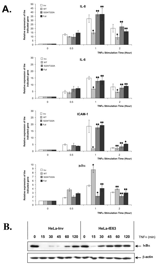 Relative expression of IL-8, IL-6, ICAM-1 and IκBα genes in HeLa cells expressing IE63, IE63-S224/T222A, and IE63-Full versus control cells stimulated or not with TNFα . HeLa cells expressing IE63 wild-type, IE63-S224/T222A, IE63-Full or IE63 in inverted orientation (Inv, control) were treated for increasing times (from 0 to 2 h) with TNFα at a final concentration of 200 U/mL. (A) Total RNA extracts were isolated and analyzed by Real-time RT-PCR using primers for the IL-8 mRNA, IL-6 mRNA, ICAM-1 mRNA, and IκBα mRNA. (B) The IκBα degradation. HeLa cells expressing IE63wt or control cells were treated for increasing times (from 0 to 2 h) with TNFα (200 U/mL). IκBα degradation was followed by Western Blotting on total cellular extracts. β-actin Western Blotting detection was used as loading control (lower panel). ρ-values were calculated using the graphpad quickcalcs software [59]: *, significantly different from control (Inv ; p-value