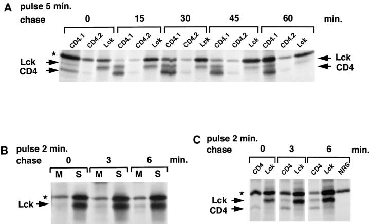 Kinetics of the association of Lck with CD4. (A) SupT1 cells (1.25 × 10 8 ) were labeled for 5 min with [ 35 S]methionine/cysteine (1.5 mCi) and chased as indicated. The cells were lysed in NP-40 buffer and subjected to sequential immunoprecipitations, first with two rounds of anti-CD4 antibodies (CD4.1 and CD4.2) and next with anti-Lck antibodies (Lck). (B) SupT1 cells (10 8 ) were labeled with [ 35 S]methionine/cysteine (1 mCi) for 2 min and chased for 0, 3, or 6 min. Lck was immunoprecipitated from membrane (M) and soluble (S) fractions with LckN and analyzed by SDS-PAGE and autoradiography. (C) SupT1 cells (7.5 × 10 7 ) were labeled with [ 35 S]methionine/cysteine (1 mCi) for 2 min and chased for 0, 3, or 6 min. Cell lysates were subjected to sequential immunoprecipitations, first with anti-CD4 antibodies (CD4) and next with anti-Lck antibodies (Lck). The last of three rounds of preclears with normal rabbit serum (NRS) and protein A–Sepharose is shown for the 6-min chase (NRS). Lck, CD4, and the background band (★) are indicated.