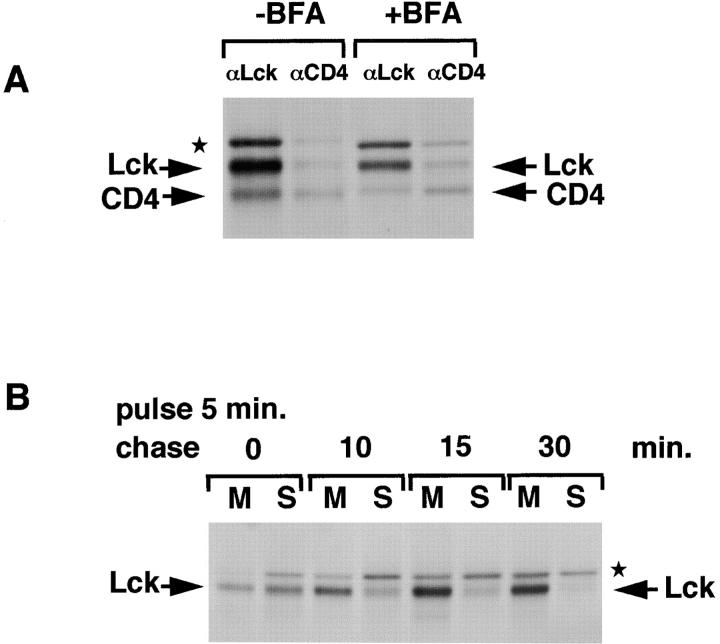 Binding of Lck to newly synthesized CD4 and membranes in the presence of BFA. (A) SupT1 cells were pulse-labeled for 5 min and chased for 40 min in the absence or presence of BFA (10 μg/ml during pulse, 2 μg/ml during chase). Pretreatment with BFA was 2 min before the pulse. NP-40 cell lysates were subjected to immunoprecipitation, first with anti-Lck (αLck lanes), next with anti-CD4 antibodies (αCD4). Lck, CD4, and a background band (★) are indicated. (B) SupT1 cells were pretreated and labeled for 5 min in the presence of BFA (10 μg/ml) and chased for indicated times in the presence of 2 μg/ml BFA. Lck was immunoprecipitated at indicated chase times from membrane (M) and soluble (S) fractions.
