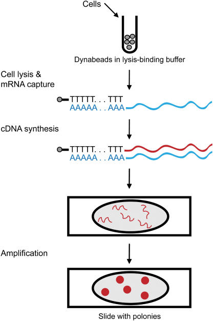 Flow chart of typical experiment. Cells (either 1000 ES cells, single blastocysts or multiple blastocysts) were delivered to a lysis-binding solution containing oligo(dT) 25 Dynabeads®. After cell lysis, mRNA was captured by hybridization with poly(A) tails on the beads and mRNA was reverse-transcribed into cDNA. cDNA was added to non-polymerized polyacrylamide gel mix containing PCR components and deposited in an oval well on a microscope slide. After polymerization of the gel, slides were thermocycled so that cDNA templates gave rise to polonies. Polonies were visualized by hybridization with a labeled gene-specific probe.