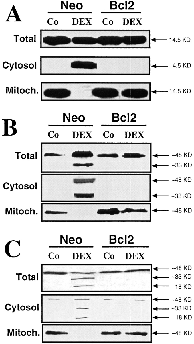 Redistribution of caspase-2 and -9 from the mitochondrion. T cell hybridoma cells transfected with a Neo control vector or with Bcl-2 were cultured in the absence or presence of 1 μM DEX, followed by subcellular fractionation, as described in Materials and Methods. Equivalent amounts of proteins were subjected to immunoblot analysis in order to determine the subcellular localization and activation of cytochrome c (A), caspase-2 (B), or caspase-9 (C). Results are representative of three independent determinations.