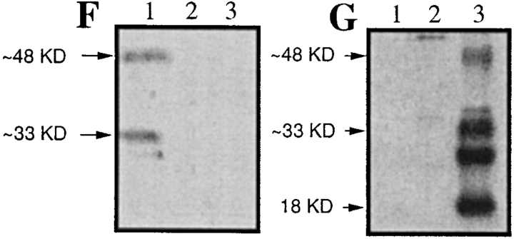 Identification of the Z-VAD– binding activity as caspase-2 and -9. (A) Proteins reacting with biotinylated VAD.fmk in the intermembrane space of liver mitochondria. The supernatant of control mitochondria (lane 1) or of Atr-treated mitochondria (lanes 2 and 3), the flow-through of the MiniS column (see Fig. 2 and Fig. 3 A; lanes 4 and 5), purified AIF (lane 6), or the Z-VAD.afc–cleaving activity eluting at 280 mM from the MiniQ column (see Fig. 2 and Fig. 4 A; lanes 7 and 8) were allowed to react with biotinylated VAD.fmk, either without pretreatment (lanes 1, 2, 4, 6, and 7) or after preincubation with Z-VAD.fmk (lanes 3, 5, and 8). Note that Z-VAD.fmk has been added to mitochondria before Atr (line 3). In addition, the proteins reacting with biotinylated VAD.fmk retained on an avidin column were purified (lane 9). These proteins, which contained approximately similar levels of Z-VAD.afc–cleaving activity (10 U) or ∼100 ng purified protein (lane 6) were separated by SDS-PAGE, blotted onto nitrocellulose, and subjected to the detection of biotinylated VAD.fmk using an avidin-based detection system. (B and C) The same blot as in A was subjected to immunodetection with antibodies specific for caspase-2 (B) or -9 (C). (D and E) Mitochondria from different organs were purified and cultured for 30 min in the presence or absence of 5 mM Atr, followed by immunoblot detection of caspase-2 (D) or -9 (E). Results are representative of two to four independent experiments. (F and G) Specificity control of caspase-2– and <t>caspase-9–specific</t> antisera. Recombinant caspase-2 (lane 1), -3 (lane 2), or -9 (lane 3) was immunoblotted (100 ng/lane), followed by immunodetection with the caspase-2 (F) or caspase-9 (G)–specific antibody. Similarly, caspase-2– and caspase-9–specific antibodies fail to recognize caspase-6 and -7 (not shown).