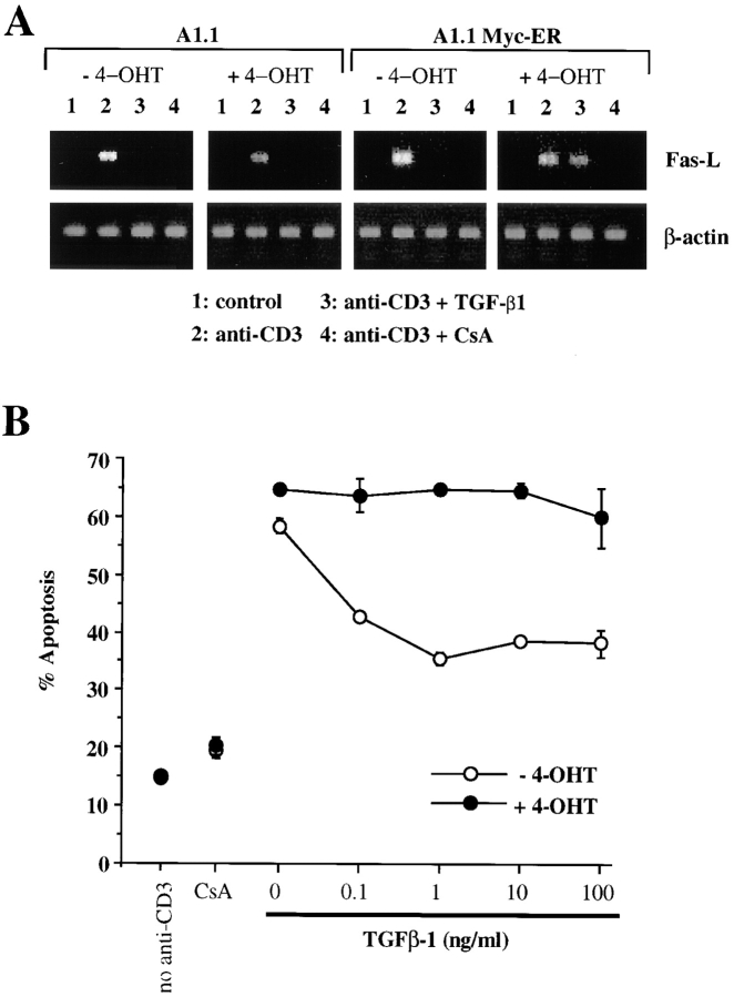 Ectopic expression of chimeric Myc-ER protein prevents TGF-β1–mediated inhibition of FasL mRNA and subsequent AICD. (A) Functional Myc-ER interferes with the inhibitory effect of TGF-β1 on activation-induced FasL expression in A1.1 cells. A1.1 or A1.1 Myc-ER cells exposed to 4-OHT (50 nM) were first preincubated for 4 h with the drug, which was then also present during subsequent culture. Cells were then incubated in medium alone (lane 1) or activated for 4 h with anti-CD3 antibodies (lanes 2, 3, and 4). 1 ng/ml TGF-β1 (lane 3) or 100 ng/ ml CsA (lane 4) was added to some cultures. FasL expression was then assessed by RT-PCR. (B) Ectopic expression of a chimeric Myc-ER protein prevents AICD after TGF-β1 treatment. A1.1 or A1.1 Myc-ER T hybridoma cells were first preincubated for 4 h in the presence or absence of 4-OHT (50 nM) and then activated for 16 h with anti-CD3 antibodies with the indicated concentrations of TGF-β1 (1 ng/ml) or CsA (100 ng/ml). Cell death was assessed by <t>propidium</t> iodide uptake using a FACScan ® .