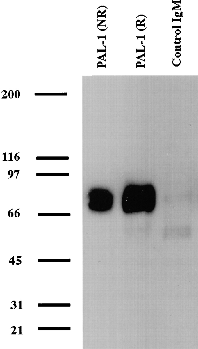 Immunoprecipitation of the AM surface protein recognized by mAb PAL-1. Hamster AMs were surface-labeled with sulfo-NHS-biotin, extracted with Triton X-100, precleared with anti–mouse IgM magnetic beads, and immunoprecipitated with mAb PAL-1 or a control IgM bound to anti–mouse magnetic beads. Immunoprecipitates were analyzed using reducing (R) or nonreducing (NR) SDS-PAGE as described in Materials and Methods. Relative molecular mass is indicated (kD).