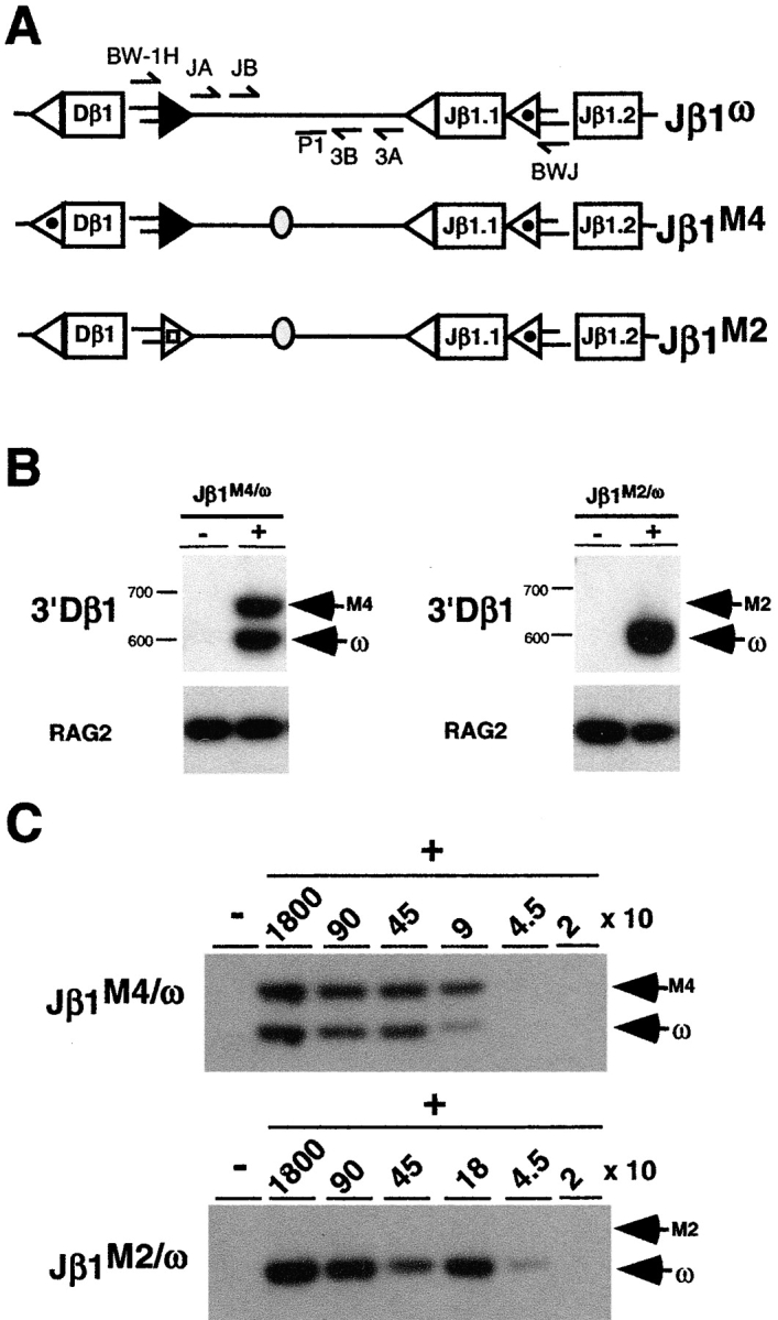 DNA cleavage is coordinated at 3′Dβ and Jβ RSSs. (A) Schematic of the Jβ1 ω , Jβ1 M2 , and Jβ1 M4 alleles as described in the legend to Fig. 1 with the BW linker ligated to cleaved 3′ Dβ1 and Jβ1.2 signal ends. The position of the oligonucleotide primers used to amplify linker ligated to the 3′ Dβ1 (BW-1H, 3A, and 3B) and Jβ1.2 (BWJ, JA, and JB) signal ends are shown as is the position of the oligonucleotide (P1) used to probe these PCR products. Genomic DNA from Jβ1 M4/ω or Jβ1 M2/ω DN thymocytes was incubated with the BW linker in the presence (+) or absence (−) or <t>T4</t> DNA ligase and heminested LMPCRs performed to detect 3′ Dβ1 (B) and Jβ1.2 (C) signal ends as described in the Materials and Methods section. Analyses of Jβ1.2 signal ends was performed on ligated thymocyte DNA that was serially diluted into nonligated DNA keeping the total amount of DNA constant. Cell equivalents of ligated template DNA are indicated. Products from ligation of the BW linker to signal ends from the Jβ1 ω (ω), Jβ1 M4 (M4), and Jβ1 M2 (M2) alleles are indicated. Molecular weight markers are shown. Also shown is a RAG-2 gene PCR performed on ligated and nonligated template DNA and probed with the R2P oligonucleotide.