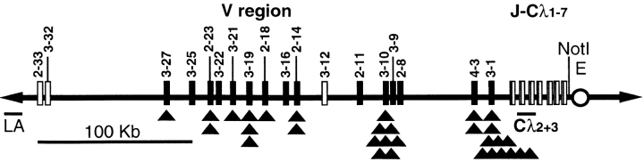 The HuIgλYAC accommodates a 380-kb region of the human λ L chain locus in authentic configuration with all Vλ genes of cluster A ( 21 , 22 , 40 ), the Jλ-Cλ segments, and the 3′ enhancer ( 17 ). Black boxes represent functional Vλ genes (3-27, 3-25, 2-23, 3-22, 3-21, 3-19, 2-18, 3-16, 2-14, 2-11, 3-10, 3-9, 2-8, 4-3, and 3-1) and white boxes show Vλ genes with open reading frames (2-33, 3-32, and 3-12) that have not been identified in productive rearrangements of human lymphocytes ( 40 ). Pseudogenes are not shown. Black triangles (▴) indicate V gene use in functionally Igλ rearrangements (mutated [see Fig. 5 ] and unmutated) found by RT-PCR in spleen and sorted PP cells from HuIgλ mice. Rearrangement to Jλ1 was found in 5 sequences, Jλ2 in 18, and Jλ3 in 8. The unique NotI restriction site is indicated. Probes to assess the integrity of the HuIgλYAC, LA (left arm) and Cλ2+3 are indicated.