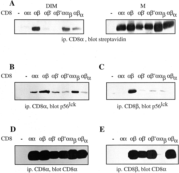 Palmitoylation of CD8β is essential for CD8 localization in rafts and efficient lck association. (A) T1.4 hybridomas with the indicated CD8 expression were surface-biotinylated, lysed in cold TX-100 (1%), and fractionated in M and DIM fractions. These were immunoprecipitated with anti-CD8α mAb 53.6.72. The samples were analyzed by SDS-PAGE and Western blotting with streptavidin. (B–E) T1.4 hybridomas with the indicated CD8 expression were lysed in Brij96 (1%) and the lysates immunoprecipitated with mAb 53.6.72 (B and D) or anti-CD8β mAB H35–17 (C and E). The immunoprecipitates were analyzed by SDS-PAGE and Western blotting with anti-lck mAb 3A5 (B and C) or anti-CD8α antiserum (D and E). Note that anti-CD8β mAb H35 is unable to precipitate CD8αα and CD8αα β . One out of two experiments is shown.
