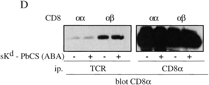 The CD8β tail mediates CD8 association with TCR/CD3. (A–C) T1.4 hybridomas with the indicated CD8 expression were lysed in 0.3% NP-40, and lysates immunoprecipitated with anti-TCR mAb H57 (A and B), anti-CD8α mAb 53.6.72 (C, left), or with anti-CD8β mAb H35–17 (C, right). The samples were analyzed by SDS-PAGE and Western blotting with anti-CD8α antiserum (A and C) or anti-CD3ε antiserum (B). (D) T1.4 T cell hybridomas expressing CD8αα or CD8αβ were incubated with monomeric K d -SYIPSAEK(ABA)I complexes (1.16 μM) for 2 h at 0–4°C. After UV irradiation the cells were lysed in 0.3% NP-40. Lysates were immunoprecipitated with anti-TCR mAb H57 or anti-CD8α mAb 53.6.72, as indicated and the immunoprecipitates analyzed by SDS-PAGE and Western blotting with anti-CD8α antiserum.