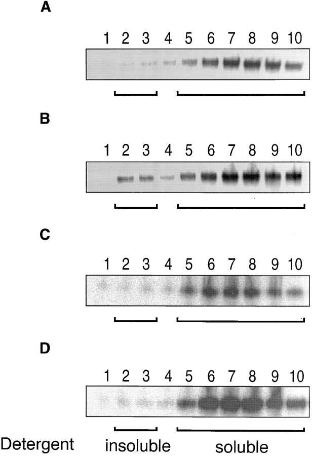 """CD8αβ mediates raft association of TCR/CD3. T1.4 hybridomas (5 × 10 7 ) expressing no CD8 (A), CD8αβ (B), CD8αβ′ (C), or CD8αβ′′ (D) were photoaffinity labeled at 26°C with K d - 125""""IASA""""-YIPSAEK(ABA)I (0.5–1.5 × 10 8 cpm/7 ml). After UV irradiation the washed cells were lysed in 0.5% Brij58 and the lysates fractionated on sucrose density gradients. Fractions were collected from the top and immunoprecipitated with anti-TCRCβ mAb H57. The immunoprecipitates were analyzed by SDS-PAGE and PhosphorImaging."""