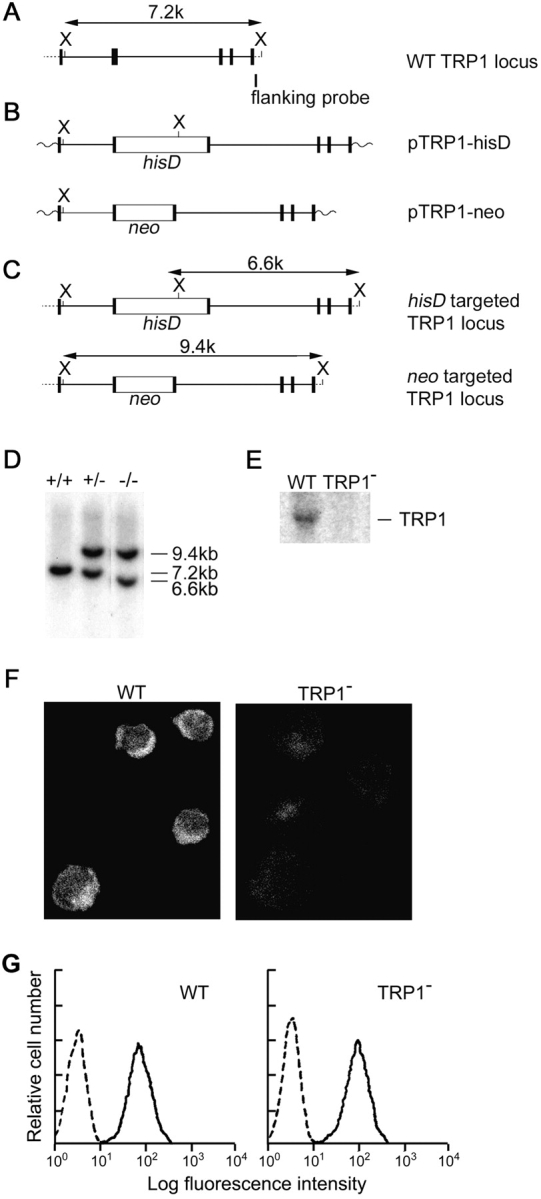 Targeted disruption of the TRP1 gene in DT40 B lymphocytes. Partial restriction map of chicken TRP1 gene (A), targeting construct (B), and expected structure of the disrupted allele (C). (D) Southern blot analysis of genomic DNAs from DT40 cells. Genomic DNAs were prepared from WT (+/+), neo -targeted (+/−), and neo / his -targeted (−/−) clones, digested with Xba I, and hybridized with a 3′-flanking probe. The restriction endonuclease cleavage site of Xba I is abbreviated as X. (E) Northern blot analysis of WT and TRP1-deficient DT40 cells (clone TRP1 − -14). (F) Immunolocalization of TRP1 in WT cells, and loss of its expression in TRP1 − -14 cells. The fluorescence images were acquired with a confocal laser microscope. (G) BCR expression on TRP1-deficient DT40 cells. DT40 cells were stained with FITC-conjugated anti–chicken IgM Ab.