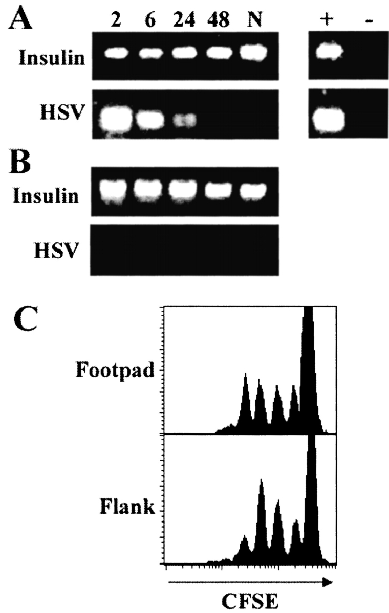 Activation of the gB-specific T cells does not require the presence of viral DNA in the draining lymph nodes. Mice were killed at various times (2–48 h; N, naive) after footpad infection (A), or after flank scarification (B) and DNA isolated from the draining PLNs or pooled axillary and inguinal lymph nodes, respectively. 100 ng of DNA was amplified by PCR using HSV-1 or insulin-specific primers. DNA from the footpad of a mouse infected 24 h earlier was used as a positive control (+). A no DNA control was included to rule out contamination (−). (C) Mice receiving CFSE-labeled gBT-I.1 cells were infected with HSV-1 by footpad injection or flank scarification, and CD8 + T cells from the PLNs or pooled axillary and inguinal lymph nodes, respectively, were analyzed for the presence of proliferating cells via CFSE intensity at 48 h after infection. Histograms represent 5–10,000 live events.