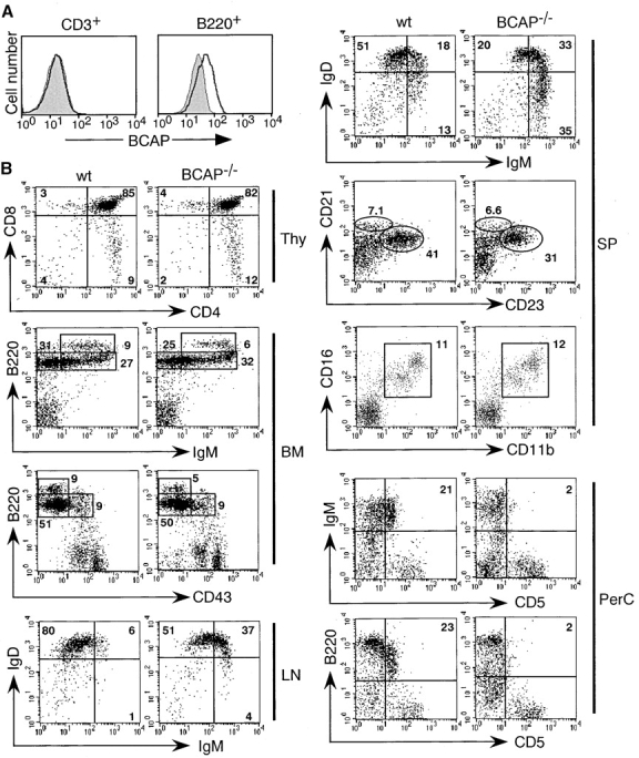 Flow cytometric analysis of lymphocyte populations in BCAP −/− mice. (A) Expression of BCAP in splenic B cells. Spleen cells stained for CD3 and B220 were analyzed by flow cytometric intracellular staining with an antiserum to BCAP plus goat anti–rabbit IgG-FITC (thick solid line, wild-type mice; shaded area, BCAP −/− mice). Data shown are representative of three independent experiments. (B) Single-cell suspensions from thymus (Thy), bone marrow (BM), lymph node (LN), spleen (SP), and peritoneal cavity (PerC), were stained with the indicated Abs and analyzed using a FACScan ® (wt, wild-type mice). Numbers indicate the percentages of lymphoid cells in the quadrants or enclosed areas. <t>IgM</t> versus IgD and CD21 versus <t>CD23</t> profiles are shown for B220 + cells, and CD11b versus CD16 profile for B220 − cells. Data shown are representative of six independent experiments.