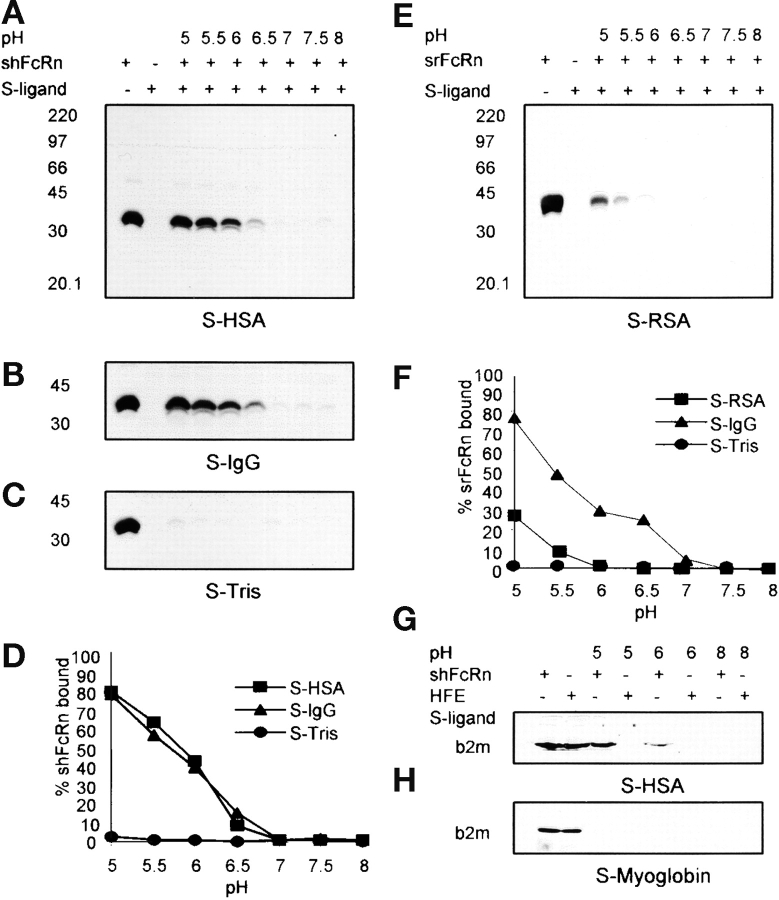 pH-dependent binding of FcRn to immobilized albumin. Sepharose (S)-HSA, S-IgG, S-Tris, S-fish gelatin (see Materials and Methods), or S-RSA were incubated with shFcRn or srFcRn at varying pH as shown. Bound soluble FcRn were eluted and were quantified by immunoblotting with anti-FcRn antibody. Immunoblots of binding of shFcRn to S-HSA, S-IgG, and S-Tris at pH values indicated are shown in A, B, and C, respectively. Immunoblot of binding of srFcRn to S-RSA is shown in E. The positions of molecular weight markers (M, in kD) are shown. Lane 1 in all the gels contained 15 μg soluble FcRn, the amount added to every adsorbent sample. Lane 2 in each case shows the eluate from Sepharose-ligand in the absence of FcRn. The shFcRn bands were quantified and are plotted in panel D vs. pH. Three distinct experiments have given equivalent results. srFcRn band densities are plotted in panel F vs. pH. A second experiment with srFcRn gave equivalent results. G and H show binding of HFE to S-HSA and S-myoglobin. Lanes 1 and 2 show amounts of shFcRn and HFE added (15 μg) to adsorbent samples. Bound protein was eluted and quantified by blotting with anti-b2m antibody.