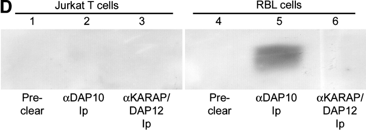 CD158j and DAP10 do not associate. RT-PCR was used to amplify transcripts for DAP10 from PBMCs (lane 1) and CD4 + CD28 null T cell clones (lanes 2–5). cDNA was omitted for the negative control (lane 6) (A). CD4 + CD28 null CD158b/j + T cell clones were stimulated with anti-CD3 or anti-CD158b/j in the presence or absence of 2.0 μM wortmannin. After SDS-PAGE and transfer to a nitrocellulose membrane, the cell lysates were analyzed for phosphorylation of JNK (left panels). The blots were then stripped and reprobed with Abs against β-actin (right panels). Results from two T cell clones are shown (B). DAP10-expressing RBL cells (left panel) were stably transfected with CD158j alone (middle panel) or with CD158j and KARAP/DAP12 (right panel). Cell surface expression of CD158j was confirmed by flow cytometry (top panels). DAP10 or KARAP/DAP12 was immunoprecipitated from lysates of biotinylated transfected RBL cells. After SDS-PAGE and transfer to nitrocellulose membranes, coimmunoprecipitated cell-surface proteins were detected by <t>streptavidin-HRP</t> (middle panels). Immunoprecipitation of DAP10 and KARAP/DAP12 was confirmed by immunoblot with anti-DAP10 or anti-KARAP/DAP12 Ab (bottom panels) (C). DAP10 or KARAP/DAP12 was immunoprecipitated from Jurkat T cells (lanes 1–3) or RBL cells (lanes 4–6). After SDS-PAGE and transfer to a nitrocellulose membrane, samples (protein-G preclear, lanes 1 and 4; DAP10 immunoprecipitate, lanes 2 and 5; KARAP/DAP12 immunoprecipitate, lanes 3 and 6) were analyzed by Western blot using DAP10 Ab (D).