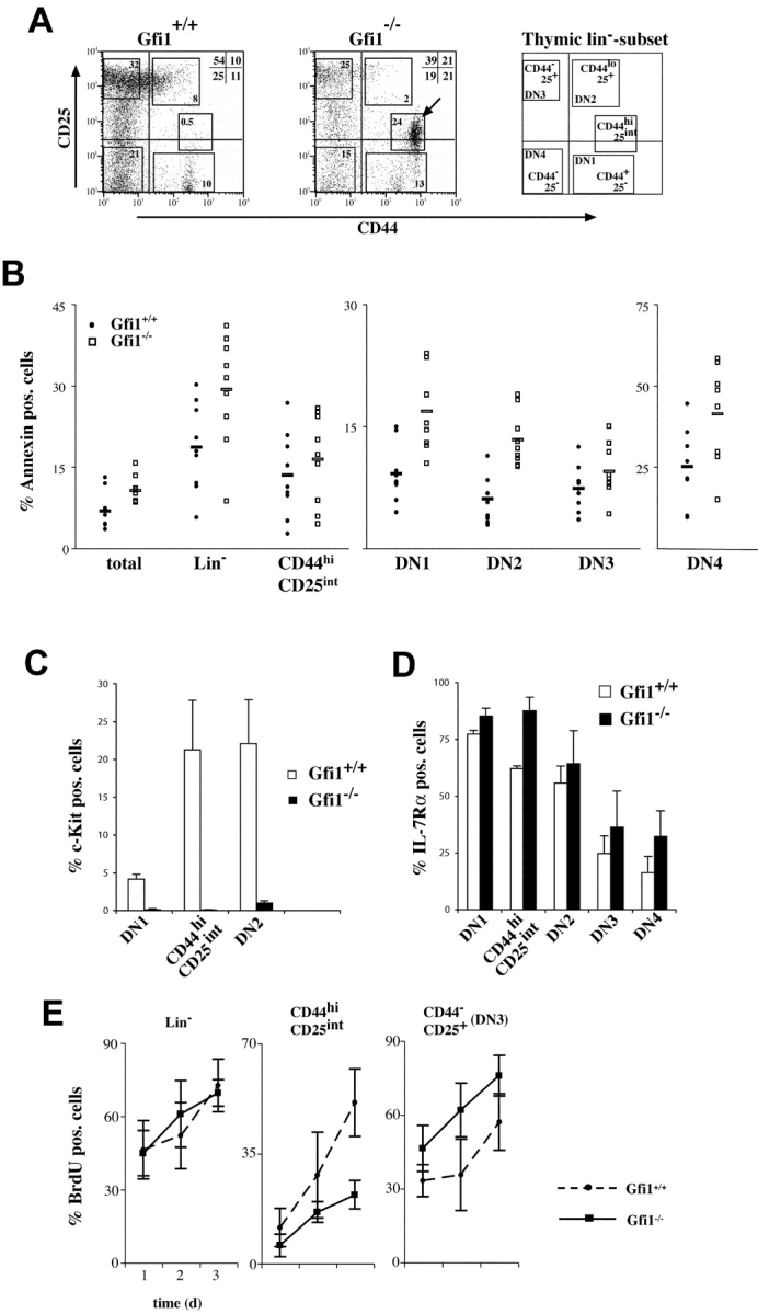 Depletion of c-Kit + cells and alterations of DN subpopulations in <t>Gfi1</t> −/− mice. (A) Flow cytometric analysis of CD25 and CD44 expression among electronically gated Lin negative (Lin − ) thymocytes. Relative percentages of DN2, DN3, and DN4 cells appear to be altered in Gfi1 −/− mice compared with normal (Gfi1 +/+ ) controls and the emergence of a new population is noted (arrowhead, CD44 hi CD25 int ; n = 10 for each genotype). (B) Thymocytes from WT (Gfi1 +/+ ) or Gfi1 −/− animals were stained for expression of Lin markers CD44 and CD25. Lin − cells and the indicated subsets were analyzed for annexin V binding. The gates for the DN subsets were as indicated in A. The percentage of annexin V + cells for the indicated subsets is given. The analysis reveals that only the DN1 and DN2 subsets of Gfi1 null mice contain significantly more apoptotic cells ( n = 9 for each genotype). The mean values for Gfi1-deficient and WT DN1 cells are 16.8 ± 4.8% and 9.1 ± 3.5%, respectively. This difference is significant at the 0.05 level (P = 0.004). The mean values for Gfi1-deficient and WT DN2 cells are 13.3 ± 3.3% and 6.0 ± 2.9%, respectively. This difference is significant at the 0.05 level (P = 0.001; Student's t test). (C) Lin − thymocytes from WT (Gfi1 +/+ ) or Gfi1 −/− mice were stained for CD44, CD25, and c-Kit expression. The percentage of c-Kit + cells is given for the DN1, DN2, and CD25 int CD44 hi subset in WT and Gfi1 null mice ( n = 5 for each genotype). (D) Lin − thymocytes from WT (Gfi1 +/+ ) or Gfi1 −/− mice were stained for CD44, CD25, and IL-7Rα expression. The percentage of IL-7Rα + cells is given for the DN1, DN2, DN3, DN4, and CD25 int CD44 hi subset in WT and Gfi1 null mice ( n = 4 for each genotype). (E) Three WT and three Gfi1 null mice were analyzed for <t>BrdU</t> incorporation for each time point over a period of 3 d. The indicated cell subsets were analyzed by flow cytometric measurements and the percentages of BrdU + cells were determined. Values are means with standard deviations and are plotted against the time in days (d).