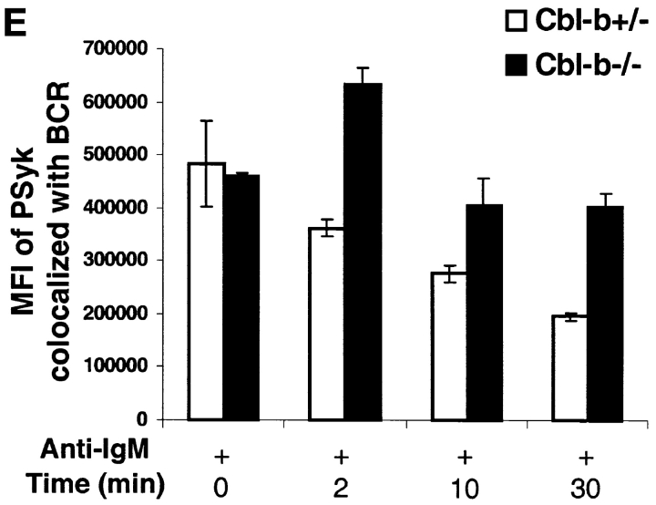 Phosphorylation of Igα and Syk and association of phospho-Syk with the BCR is prolonged in activated Cbl-b −/− B cells. (A) Purified splenic B cells from Cbl-b −/− and Cbl-b +/+ mice were treated to cross-link the BCR by incubation with a rat mAb specific for mouse IgM on ice for 30 min followed by incubation with F(ab′) 2 goat Abs specific for rat IgG at 37°C for the times indicated. At the end of each time point the cells were lysed, and the lysates subjected to immunoprecipitation using Igα-specific Abs. The Igα immunoprecipitates were analyzed by SDS-PAGE and immunoblotting probing for phosphotyrosine-containing proteins, stripped, and reprobed for either Igα (left panel) or Syk (right panel) using specific Abs. (B) B cells from Cbl-b +/+ and Cbl-b −/− mice were treated as in panel A to cross-link the BCR and at the end of each time point cells were lysed and Syk immunoprecipated from the lysates. The Syk immunoprecipitates were analyzed by SDS-PAGE and immunoblotting probing first with a phosphotyrosine-specific mAb, stripped, and reprobed for Syk. (C) Cbl-b +/+ and Cbl-b −/− B cells were treated in panel A to cross-link the BCR and incubated for 2 min at 37°C and lysed. Syk was immunoprecipitated from the lysates and the immunoprecipitates analyzed by SDS-PAGE and immunoblotting. The blots were first probed using phospho-Syk (Y519/520) specific Abs, stripped and reprobed with Syk-specific Abs. (D) B cells from Cbl-b +/− and Cbl-b −/− mice were imaged by laser scanning confocal microscopy to determine the colocalization of the BCR and phospho-Syk (Y519/520) as detailed in Materials and Methods. Briefly, B cells were incubated with RRX-conjugated Fab goat Abs specific for mouse Igμ, washed, allowed to settle onto coverslips, and activated by the addition of goat Abs specific for mouse IgM for 0 to 30 min at 37°C. The cells were fixed, permeabilized, and stained with rabbit Abs specific for phospho-Syk (Y519/520) detected using AlexaFluor 488-conjugated goat Abs specific for rabbit Ig. The cells were imaged by confocal laser scanning microscopy using a Zeiss Axiovert 200M LSM 510 META. A representative field is shown 2 min after BCR cross-linking (top) and the RRX and AlexaFluor 488 intensities of each pixel are plotted (bottom). (E) The average MFI of the AlexaFluor 488 colocalized with RRX for five fields of cells at each time point is given.