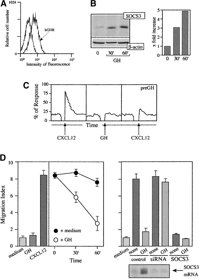 GH treatment affects CXCL12-mediated responses. (A) hGHR levels were measured by flow cytometry in IM-9 cells incubated with biotin-labeled hGHR-05 mAb, followed by FITC-streptavidin. mAb binding is compared with that of a negative control (mIgM). (B) GH-activated IM-9 cell lysates were analyzed in Western blot with anti-SOCS3 antibody. Protein loading was controlled by reprobing the membrane with anti-β actin mAb. Data were quantitated using NIH software, normalized using the signal of an unrelated band, and represented as the x -fold increase compared with unstimulated cells. (C) CXCL12- or GH-induced Ca 2+ mobilization in IM-9 cells, untreated or GH-pretreated, was measured in flow cytometry. (D) Untreated or GH-treated IM-9 cells were allowed to migrate in response to 50 nM CXCL12 (left). Cells that migrated to the lower chamber were counted and expressed as a migration index. Data represent the mean of triplicate determinations, with SD indicated. IM-9 cells transfected with pEF-Flag-I/mSOCS3, a siRNA sequence targeting SOCS3, or a scrambled siRNA, were left untreated or GH-treated (60 min, 37°C) and allowed to migrate in response to 50 nM CXCL12 as before (top right). To control SOCS3 silencing, mRNA was extracted from untreated or GH-treated cells previously transfected with a siRNA sequence targeting SOCS3, or with scrambled siRNA. SOCS3 mRNA was analyzed in Northern blot (bottom right).