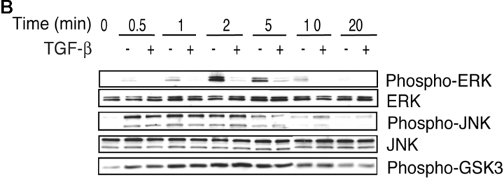 TGF-β does not inhibit Lck or ZAP-70 phosphorylations but inhibits ERK phosphorylation. Whole cell lysates were prepared from CD4 + T cells stimulated by cross-linking anti-CD3 and anti-CD28 bound to cells under neutral conditions (IL-2, 50 U/ml) in the presence or absence of TGF-β (50 pM). Total cell lysates were prepared and analyzed for the phosphorylation of (A) Lck and ZAP-70 or (B) ERK, JNK, and GSK-3.