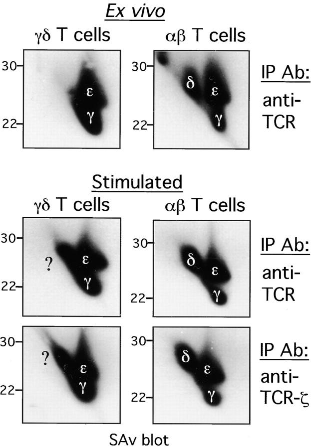 Effect of in vitro activation and expansion on the subunit composition of αβ- and γδ TCR complexes. Ex vivo αβ and γδ T cells were purified from the lymph nodes of B6 and γδ TCR Tg mice, respectively. Stimulated αβ and γδ T cells, from B6 and γδ TCR Tg mice, respectively, were generated as described in Materials and Methods. Surface proteins were labeled with biotin and αβ and γδ TCR complexes were immunoprecipitated using anti-TCR mAbs (H57–597 and UC7–13D5, respectively) or anti-TCR-ζ mAb (H146). Immunoprecipitated proteins were resolved by nonreducing/reducing 2-D SDS-PAGE. ABC-HRP and chemiluminescence were used to visualize surface biotinylated proteins. The positions of the CD3 subunits and the unknown 26-kD subunit (?) are marked.