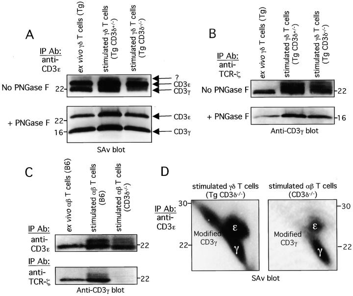Modification of the CD3γ subunit after in vitro activation and expansion. (A) 30 × 10 6 ex vivo γδ (γδ TCR Tg [Tg] CD3δ +/− mice) and stimulated γδ T cells (Tg CD3δ +/− and Tg CD3δ −/− mice) were surface biotinylated, lysed, and incubated with anti-CD3ɛ mAb (145–2C 11 ). Immunoprecipitated proteins were either treated with PNGase F or left untreated and resolved by reducing SDS-PAGE. ABC-HRP and chemiluminescence were used to visualize surface biotinylated proteins. The positions of the CD3 subunits and the unknown 26-kD subunit (?) are marked. (B) Lysates from 30 × 10 6 ex vivo γδ (Tg CD3δ +/− mice) and stimulated γδ T cells (Tg CD3δ +/− and Tg CD3δ −/− mice) were immunoprecipitated with anti-TCR-ζ mAb (H146) and then treated with PNGase F or left untreated. Digested and undigested TCR proteins were resolved by reducing SDS-PAGE and immunoblotted with anti-CD3γ serum. (C) Lysates from 30 × 10 6 ex vivo αβ (B6 mice) and stimulated αβ T cells (B6 and CD3δ −/− mice) were immunoprecipitated with anti-CD3ɛ (145–2C 11 ) or anti-TCR-ζ mAb (H146). Immunoprecipitated proteins were resolved by reducing SDS-PAGE and immunoblotted with anti-CD3γ serum. (D) Stimulated αβ and γδ T cells from CD3δ 2 / − mice were generated as described in Materials and Methods. Surface proteins on equivalent numbers of cells were labeled with biotin and TCR complexes were immunoprecipitated using the anti-CD3ɛ mAb (145–2C 11 ). Immunoprecipitated proteins were resolved by nonreducing/reducing 2-D SDS-PAGE. ABC-HRP and chemiluminescence were used to visualize surface biotinylated proteins. The exposure time for each blot is identical. The positions of the CD3ɛ and the modified forms of CD3γ are marked.