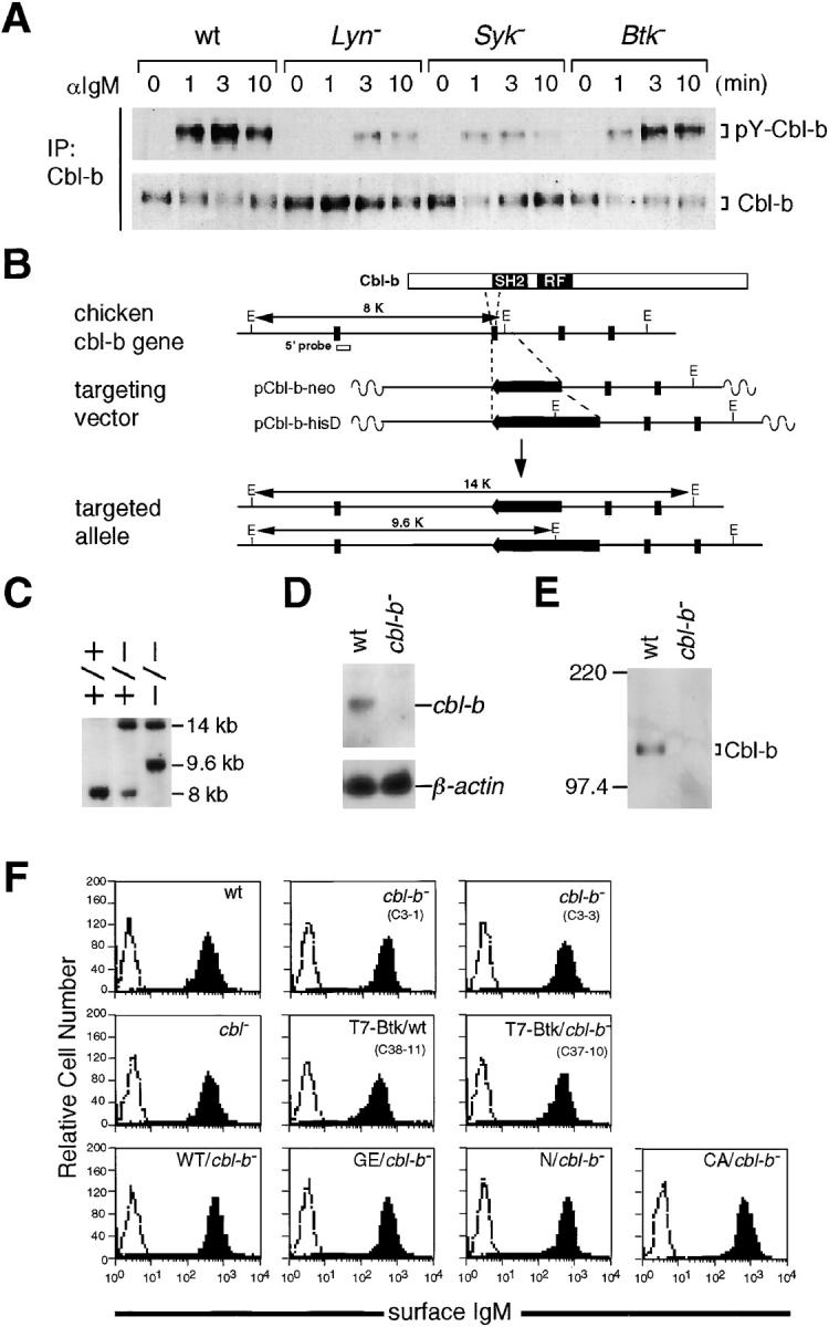 Tyrosine phosphorylation of Cbl-b and generation of Cbl-b–deficient DT40 B cells. (A) At the indicated time points after stimulation of 8 μg/ml M4, wild-type, Lyn-, Syk-, or Btk-deficient DT40 cells (2.5 × 10 7 ) were lysed in 1% NP-40 lysis buffer containing 10 mg/ml digitonin. Anti–Cbl-b (C-20) immunoprecipitates from the lysates were subjected to Western blot analysis with anti-phosphotyrosine mAb (top) and anti–Cbl-b (C-20) Ab (bottom). (B) Structure of the chicken cbl-b allele, the targeting vector, and the mutated allele. Restriction sites for EcoRI (E) are indicated. (C) Southern blot analysis of wild-type and targeted DT40 cells. EcoRI-digested genomic DNAs were separated on an agarose gel, blotted, and hybridized with the chicken cbl-b cDNA probe (B, 5′ probe). (D) Northern blot analysis of wild-type and Cbl-b–deficient DT40 cells using chicken cDNA probe for cbl-b (top) or β-actin (bottom). (E) Protein expression of Cbl-b in wild-type and Cbl-b–deficient DT40 cells. Immunoprecipitates with anti–Cbl-b (C-20) Ab were prepared from wild-type and Cbl-b–deficient DT40 cells and subjected to Western blot analysis using anti–Cbl-b (C-20) Ab. (F) BCR expression on the surface of wild-type (wt), Cbl-b–deficient ( cbl-b − , C3-1, and C3-3), and various DT40 derivatives were monitored by flow cytometry. Unstained cells were used as the negative controls (dashed histogram). Wild-type and Cbl-b–deficient cells expressing T7-tagged Btk are indicated as T7-Btk/wt and T7-Btk/ cbl-b − , respectively. Cbl-b–deficient cells (C3-3) expressing wild-type Cbl-b, G298E mutant Cbl-b, COOH-terminal deletion mutant Cbl-b (1-444 amino acids), and C373A mutant Cbl-b are shown as WT/ cbl-b − , GE/ cbl-b − , N/ cbl-b − , and CA/ cbl-b − , respectively. The x and y axes for the histograms indicate fluorescence intensity (four-decade log scales) and relative cell number, respectively.