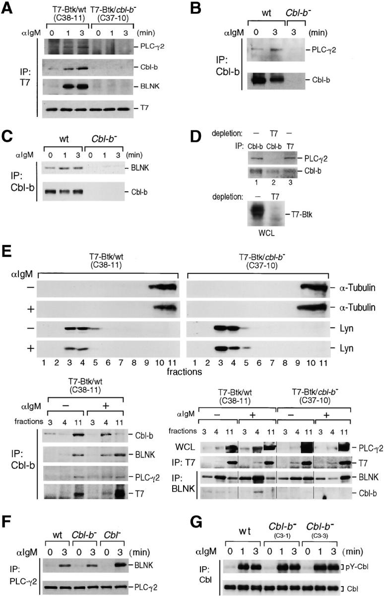 BCR-induced association of Cbl-b, Btk, BLNK, and PLC-γ2 and their translocation into GEMs. (A) Interaction of BLNK, PLC-γ2, or Cbl-b with Btk. Wild-type or Cbl-b–deficient DT40 cells expressing T7-tagged Btk were lysed in 0.2% NP-40 lysis buffer at the indicated time points after stimulation of 4 μg/ml M4. Anti-T7 immunoprecipitates from the lysates were subjected to Western blot analysis with anti–PLC-γ2 Ab, anti–Cbl-b (C-20) Ab, anti-BLNK Ab, and anti-T7 mAb. (B) BCR-induced interaction between Cbl-b and PLC-γ2. Wild-type or Cbl-b–deficient (C3-3) DT40 cells were lysed in 1% NP-40 lysis buffer at the indicated time points after stimulation of 4 μg/ml M4. Anti–Cbl-b (C-20) immunoprecipitates from the lysates were subjected to Western blot analysis with anti–PLC-γ2 Ab (top) and anti–Cbl-b (C-20) Ab (bottom). (C) BCR-induced interaction between Cbl-b and BLNK. Wild-type or Cbl-b–deficient (C3-3) DT40 cells were lysed in 1% NP-40 lysis buffer at the indicated time points after stimulation of 4 μg/ml M4. Anti–Cbl-b (C-20) immunoprecipitates from the lysates were subjected to Western blot analysis with anti-BLNK Ab (top) and anti–Cbl-b (C-20) Ab (bottom). (D) Wild-type DT40 cells expressing T7-tagged Btk were stimulated with 8 μg/ml M4 for 3 min. Cell lysates with or without immunodepletion of Btk using anti-T7 mAb were immunoprecipitated with anti–Cbl-b (C-20) Ab (lanes 1 and 2) or anti-T7 mAb (lane 3). Immunoprecipitates or whole cell lysates were subjected to Western blot analysis with anti–PLC-γ2 Ab, anti–Cbl-b (C-20) Ab, and anti-T7 mAb. (E) Wild-type or Cbl-b–deficient DT40 cells expressing T7-tagged Btk, unstimulated (−) or stimulated (+) with 8 μg/ml M4 for 3 min, were lysed and fractionated by the sucrose gradient (top). Fractions (30 μl/lane; numbered from 5 to 40% density) were resolved by SDS-PAGE and subjected to Western blot analysis with anti–α-tubulin mAb or anti-Lyn Ab (bottom left). Anti–Cbl-b immunoprecipitates from fractions 3 and 4 (GEMs), or fracti