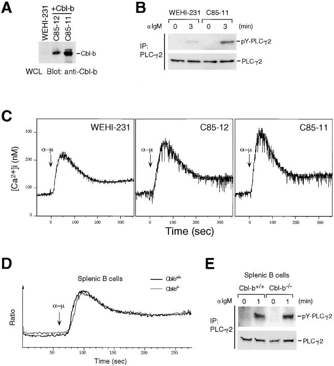 Role of Cbl-b on the PLC-γ2/Ca 2+ pathway in mouse B cells. (A) Whole cell lysate (5 × 10 5 cells) from parental and Cbl-b–overexpressing (C85-11 and C85-12) WEHI-231 mouse B cells were analyzed by Western blot analysis using anti–Cbl-b (G-1) mAb. (B) Parental and Cbl-b–overexpressing (C85-11) WEHI-231 cells (3 × 10 6 ) were stimulated with anti-IgM (10 μg/10 7 cells) for 3 min. Anti–PLC-γ2 immunoprecipitates from the lysates were subjected to Western blot analysis with anti-phosphotyrosine mAb (top) and anti–PLC-γ2 mAb (bottom). (C) BCR-induced Ca 2+ mobilization in parental and Cbl-b–overexpressing (C85-11 and C85-12) WEHI-231 cells. [Ca 2+ ] i were monitored by spectrophotometer after stimulation with 2 μg/ml anti-IgM. Arrows indicate the time point of the addition of anti-IgM (α − μ). (D) BCR-induced Ca 2+ mobilization in B cells from wild-type (Cbl-b +/+ ) and Cbl-b–deficient (Cbl-b −/− ) mice. Splenocytes were loaded with Indo-1, labeled with B220-FITC, and stimulated with anti-IgM (10 μg/10 7 cells). Data are presented as the median ratio of Ca 2+ bound to Ca 2+ -free Indo-1 fluorescence of B220 + cells as measured by flow cytometry. (E) 3 × 10 6 splenic B cells of wild-type (Cbl-b +/+ ) or Cbl-b–deficient (Cbl-b −/− ) mice were stimulated with anti-IgM for 1 min. Anti–PLC-γ2 immunoprecipitates from the lysates were subjected to Western blot analysis with anti-phosphotyrosine mAb (top) and anti–PLC-γ2 mAb (bottom). All experiments were performed more than three times.