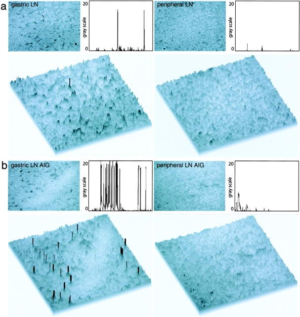 Quantitative immunohistochemical analysis of H + /K + -ATPase in LN sections of untreated animals and animals with AIG. (a) Anti–H + /K + -ATPase FITC-stained LN sections of untreated BALB/c mice were incubated with secondary anti-FITC HRPO Ab and developed using enhanced <t>diaminobenzidine</t> substrate. Pictures were taken with the bright field setting of the microscope (top) and additionally analyzed using the public domain NIH Image program. Single peaks represent positive staining for H + /K + -ATPase in the threshold histogram plot profile (top) and in the surface plot view (bottom) and can be detected in gastric LN, but not peripheral LN, sections of untreated animals. (b) In animals with AIG, an increase in the staining frequency for H + /K + -ATPase was observed in gastric LN (gastric LN AIG), but not in peripheral LN (peripheral LN AIG), sections.